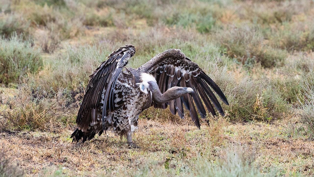 iStock-vulture.jpg
