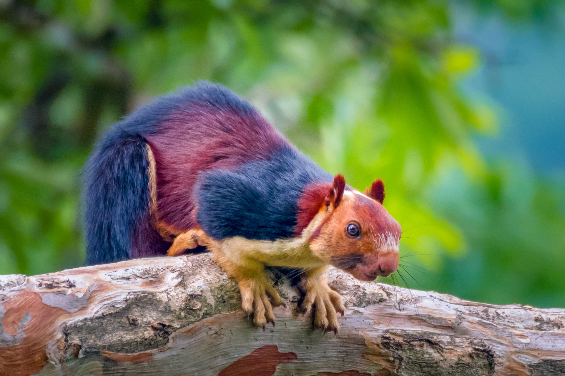 Amazing giant multicolored squirrels caught on camera, become Internet sensation thumbnail