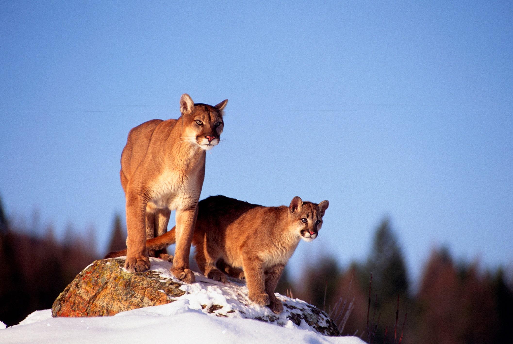 Westlake Legal Group MountainLionsiStock Arizona authorities kill 3 mountain lions found devouring human remains Jack Durschlag fox-news/us/us-regions/southwest/arizona fox-news/science/wild-nature/mammals fox-news/science/wild-nature fox news fnc/science fnc f54d00f1-b040-5cb0-a9f1-2d0e415fdd8a article