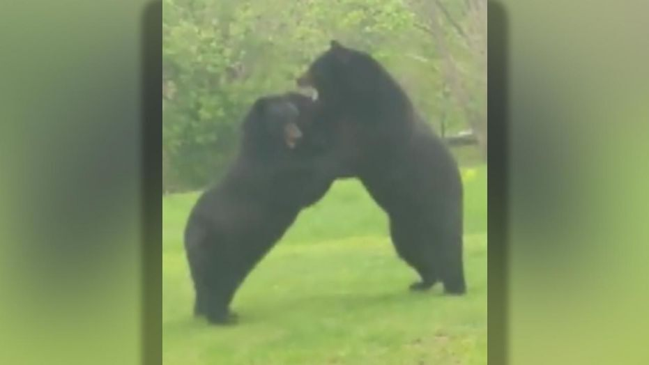 Westlake Legal Group NJ-black-bears-fight Two black bears caught in intense fight in New Jersey backyard Ryan Gaydos fox-news/us/us-regions/northeast/new-jersey fox-news/science/wild-nature/mammals fox news fnc/science fnc bbf230a3-b713-56f6-9364-a3aab091bcd0 article
