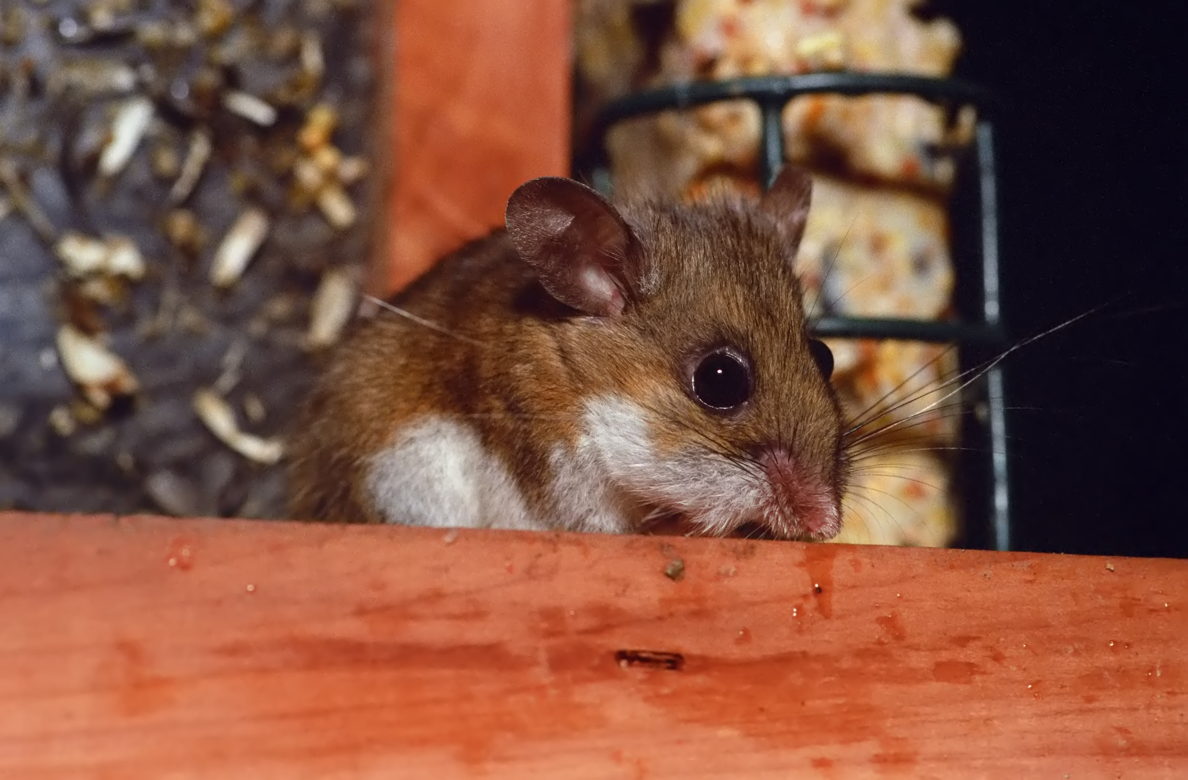 Westlake Legal Group deer_mouse_istock New Mexico woman dies from virus linked to rodent droppings fox-news/us/us-regions/southwest/new-mexico fox-news/health/medical-research/rare-diseases fox-news/health/infectious-disease fox news fnc/health fnc article Alexandria Hein 28276aa1-4ca4-5525-b497-64024b6e637c