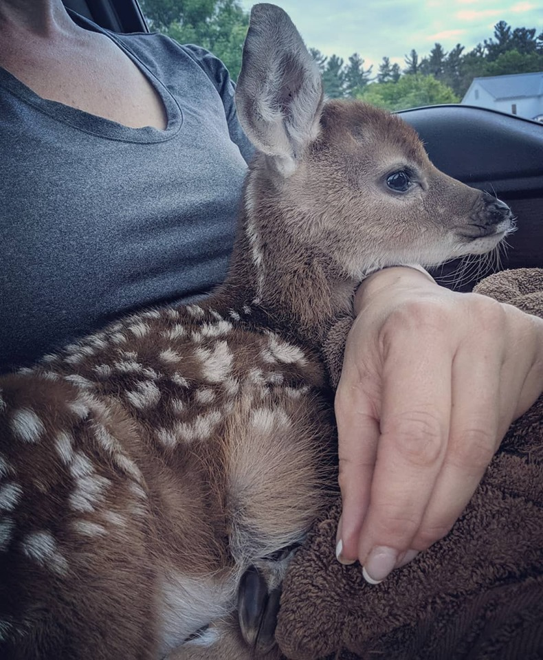 Baby deer seen crying next to mother killed in New Hampshire crash