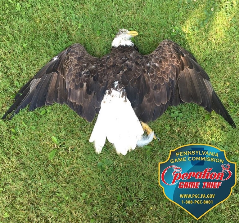Westlake Legal Group BE Pennsylvania officials ask for help to nab bald eagle killer Louis Casiano fox-news/us/us-regions/northeast/pennsylvania fox-news/us/us-regions/northeast/new-york fox-news/us/us-regions/northeast/maryland fox-news/us/us-regions/northeast fox-news/science/wild-nature/birds fox-news/science/wild-nature fox news fnc/great-outdoors fnc article 2b772e60-0978-52db-a013-a8ed46c4a276