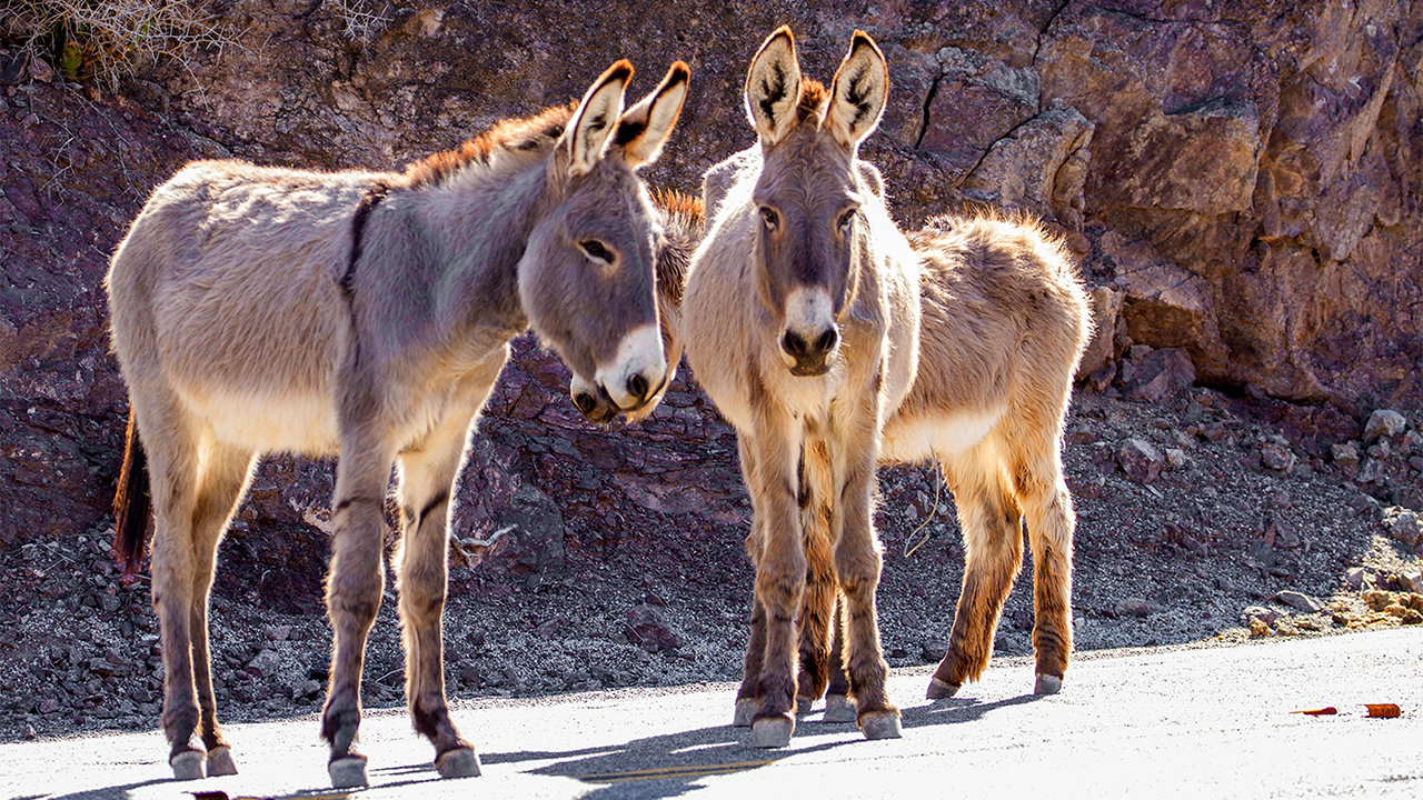 Killings of wild burros in California's Mojave Desert prompt $50G reward for information
