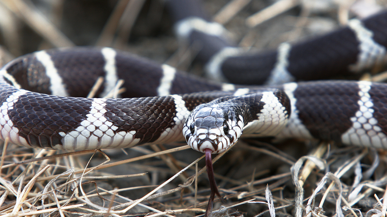 Westlake Legal Group iStock-kingsnake Hungry Pennsylvania snake rescued after swallowing 'almost half' of own body, video shows Stephen Sorace fox-news/us/us-regions/northeast/pennsylvania fox-news/science/wild-nature/reptiles fox news fnc/science fnc article 5740ef8e-bfd1-5ab7-9810-539204ecdfb7