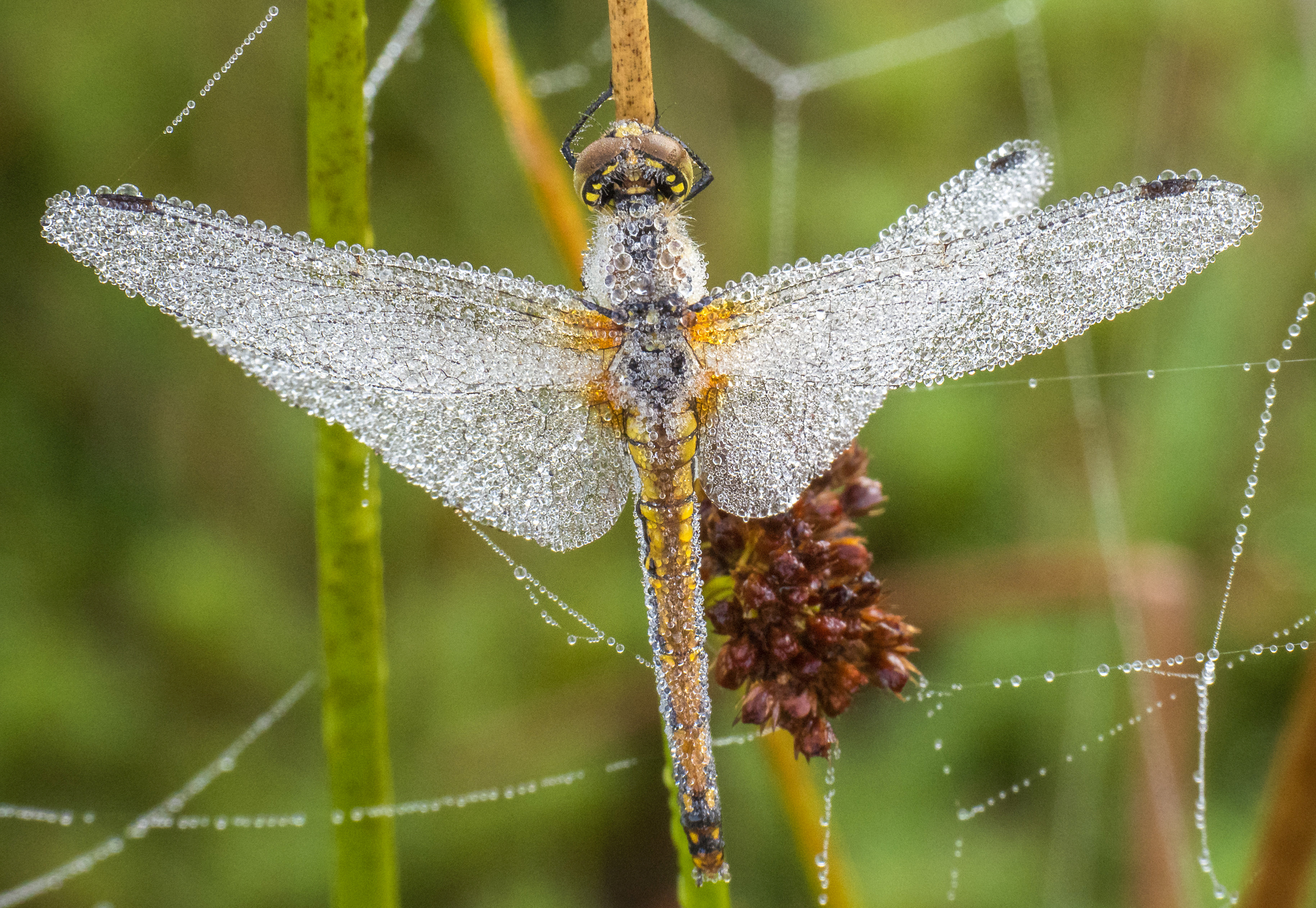 Wildlife photographer captures images of dragonflies covered in dew: It 'clung to their bodies like jewels'