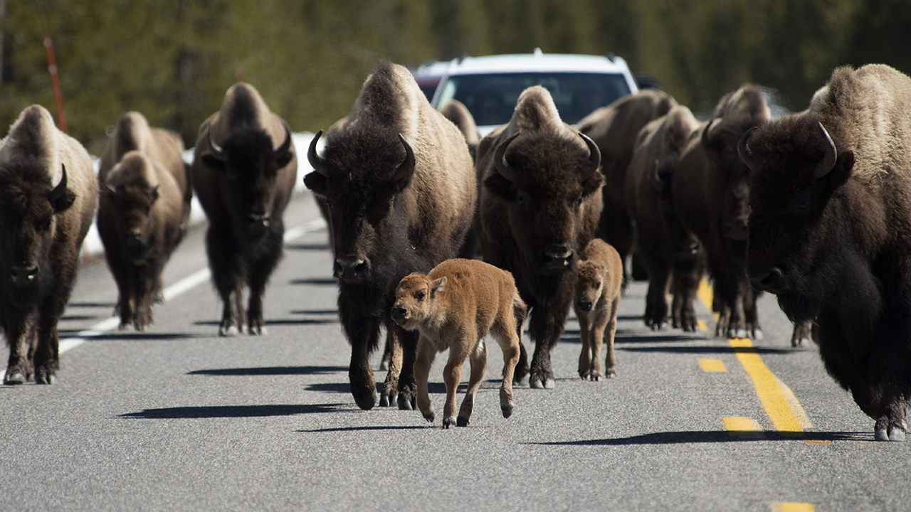 Westlake Legal Group yellow Video captures Yellowstone bison ramming rental car during stampede Gary Gastelu fox-news/travel/general/national-parks fox-news/science/wild-nature fox-news/auto/attributes/safety fox news fnc/auto fnc article 32650bb7-a25b-57e7-958b-2dcb38258b83