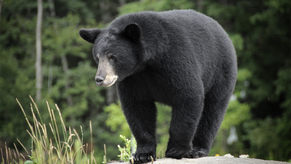 Minnesota woman, 62, killed by black bear in Canada