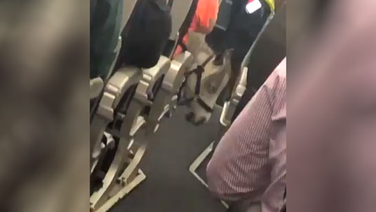 Miniature horse spotted by amused passenger on American Airlines flight