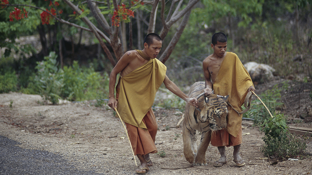 86 tigers rescued from infamous temple in Thailand have died, local media report