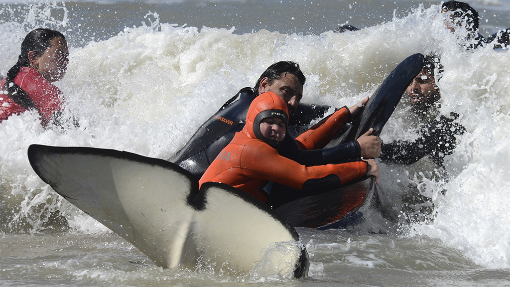6 orcas rescued from Argentine beach after getting stranded; 1 dies