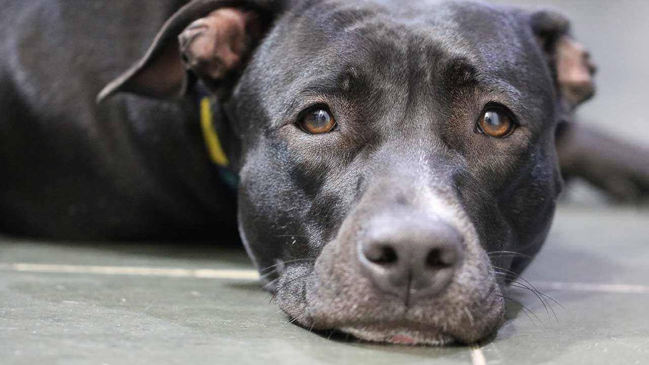 Pit bull 'faints' while getting nails clipped, instantly goes viral: 'Academy Award for best dramatic perfo...
