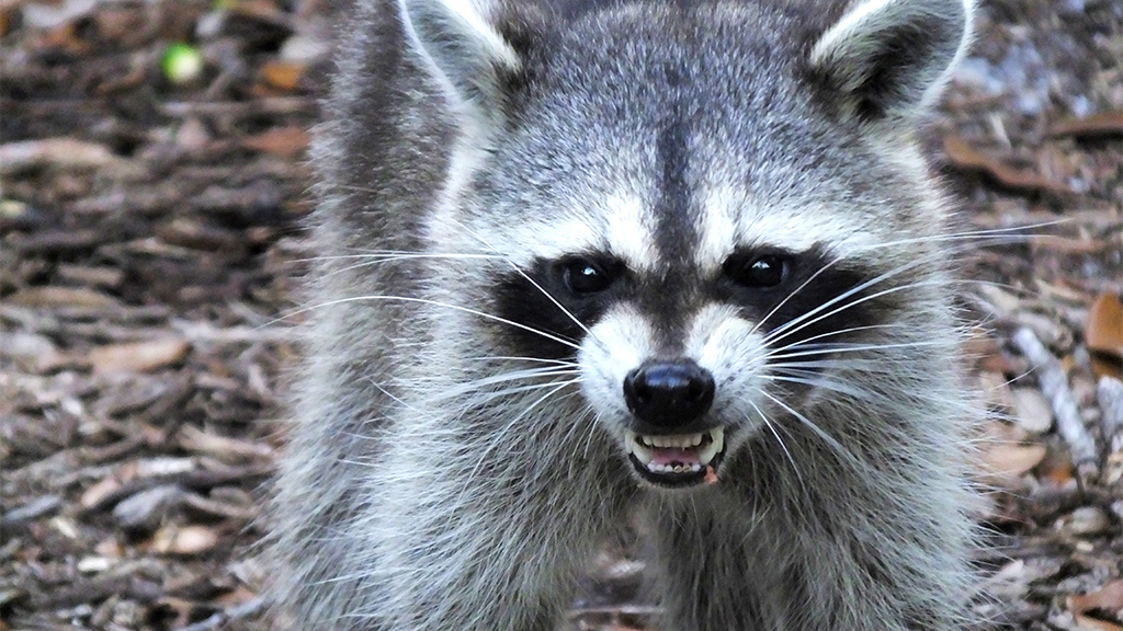 Westlake Legal Group Racoon Raccoon in New Jersey attacks 2 people, chases kids, charges at cops, reports say Talia Kaplan fox-news/us/us-regions/northeast/new-jersey fox-news/science/wild-nature/mammals fox news fnc/us fnc article 8665fadb-a885-527b-b63e-411227fc31c9