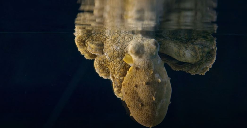 Sleeping octopus' amazing color shifts revealed in new film