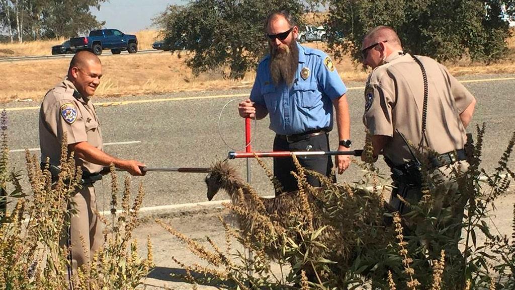 California Highway Patrol Offiziere einzufangen Flüchtling WWU auf die Autobahn