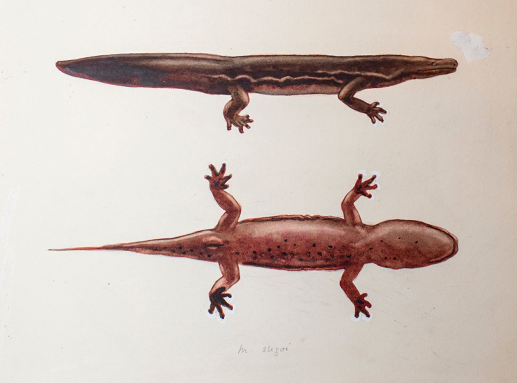 Chinese salamander that's nearly 6 feet long is world's largest amphibian, study says