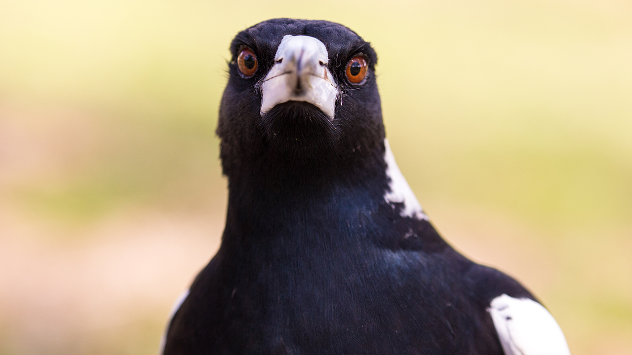 Australian man, 76, dies in swooping magpie incident, police say
