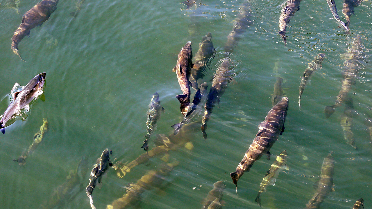 Westlake Legal Group salmon-ocean- Scientists monitoring marine heat wave off West Coast which could disrupt ecosystem Morgan Phillips fox-news/world/world-regions/pacific fox-news/us/environment/water fox-news/science/wild-nature/fish fox-news/science/planet-earth/water fox-news/science/planet-earth/oceans fox news fnc/science fnc article 54204d59-0316-5f7c-b5b0-3072996d5316