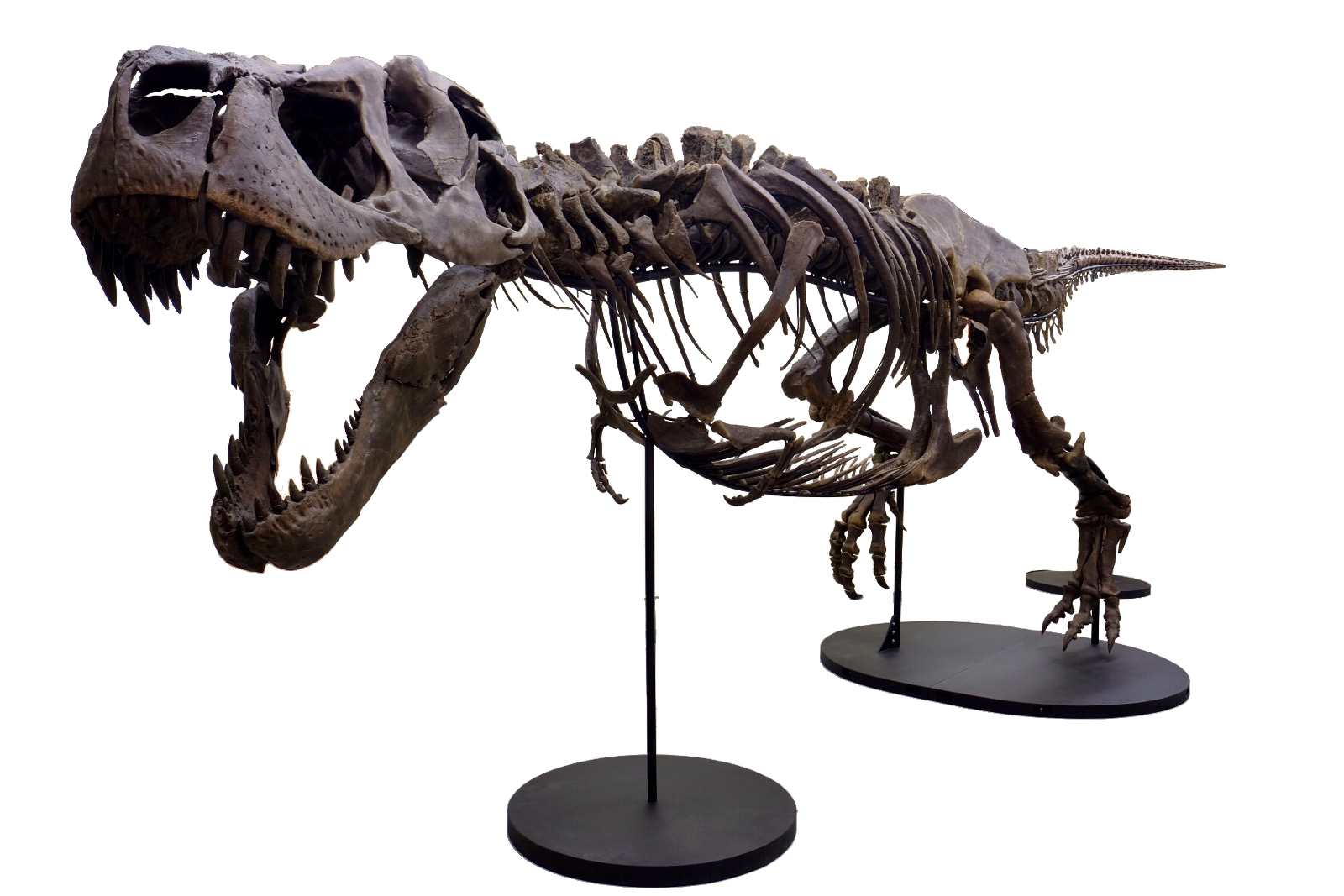 Victoria, second-most complete Tyrannosaurus rex skeleton, set to go on display