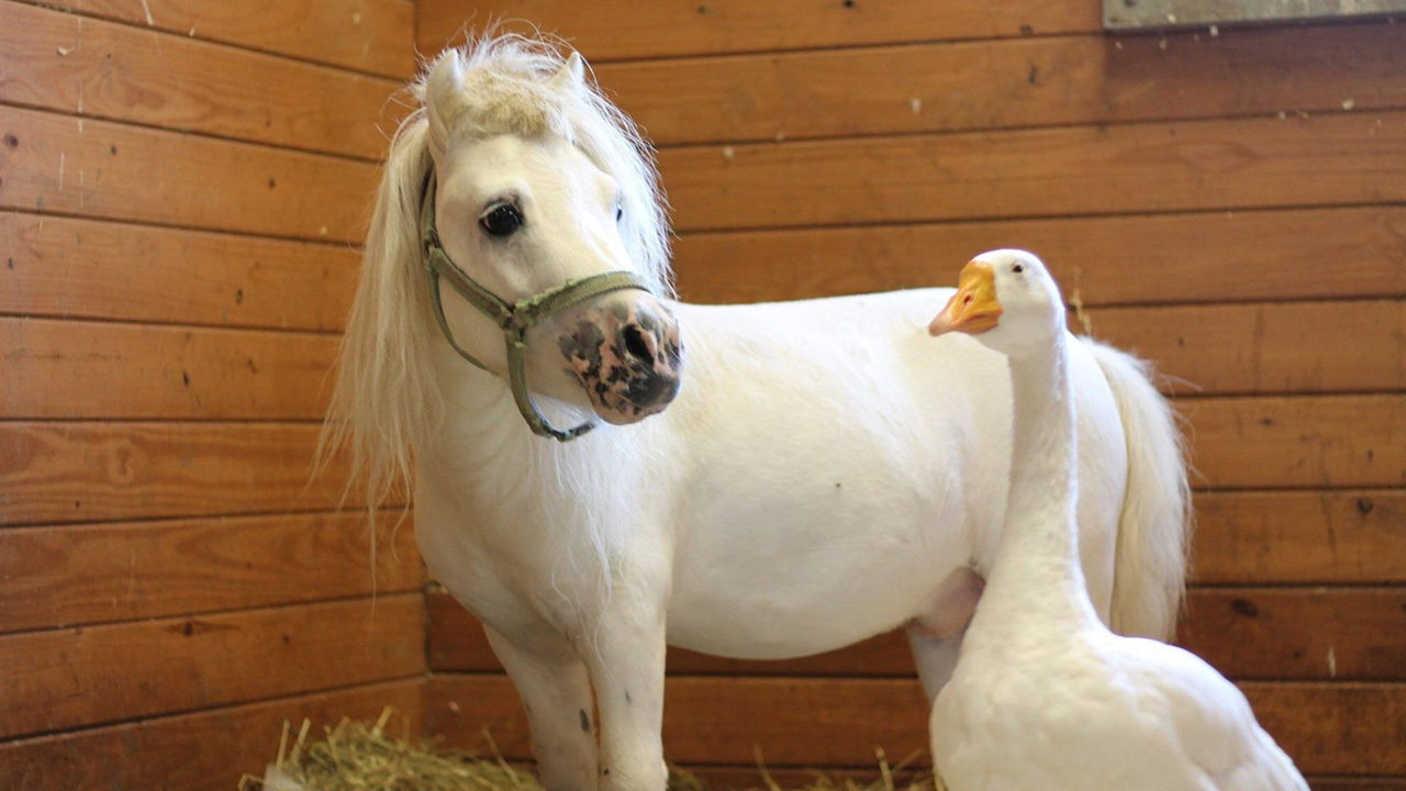 Rescued 'inseparable' mini horse and goose get adopted together