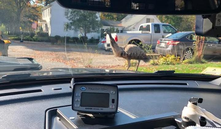 Massachusetts police used sock to calm emu that 'terrorized' community