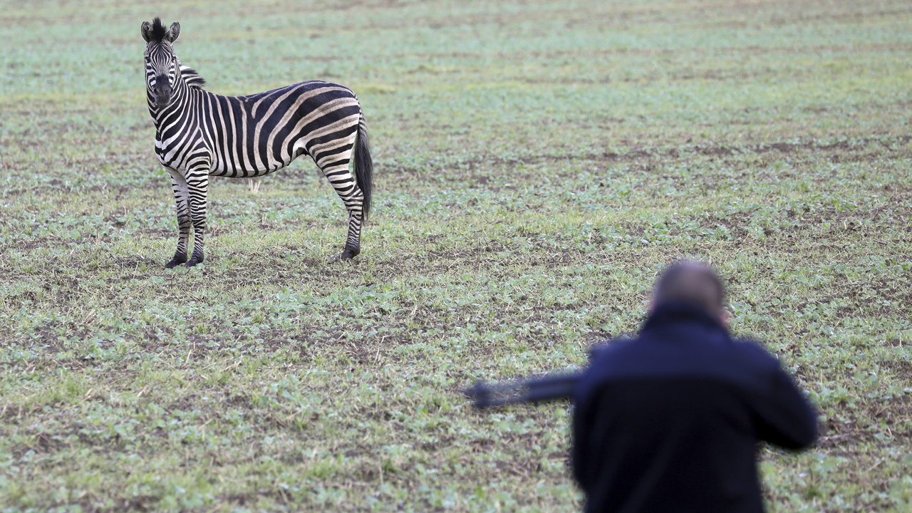 Zebra shot dead after escaping from circus in Germany, causing traffic accident