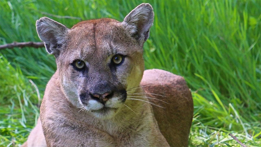 California man who fatally shot mountain lion gets 30 days in jail, 240 hours of community service