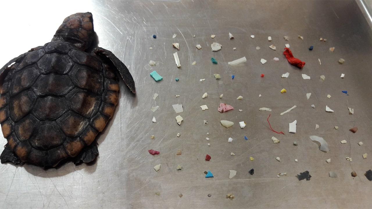 Westlake Legal Group Turtle-Plastic Florida sea turtle dead after eating more than 100 pieces of plastic Vandana Rambaran fox-news/science/planet-earth/pollution fox news fnc/science fnc ec4cbedf-5d5f-5841-8d3b-b796fd8b8599 article