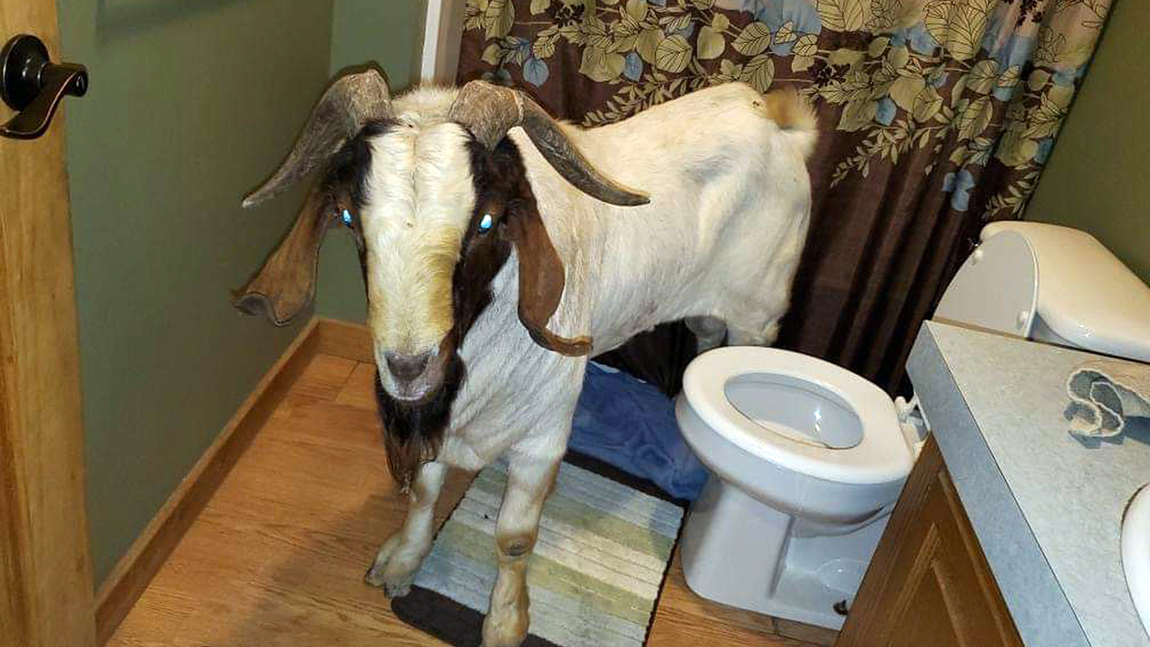 Ohio goat named 'Big Boy' breaks into home, found napping in bathroom
