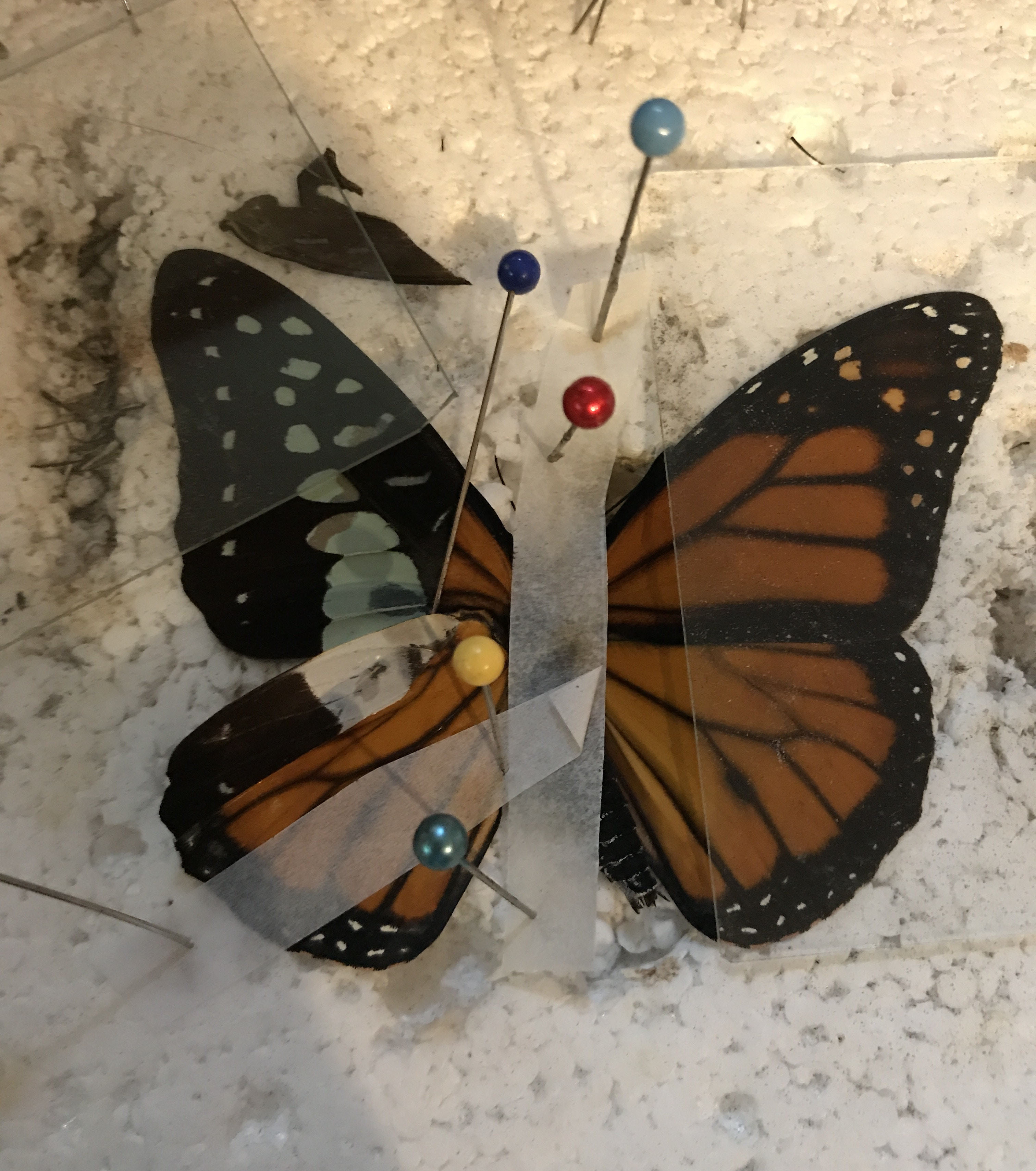 Monarch butterfly receives life-saving wing transplant at zoo, photos reveal