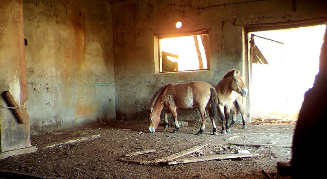 Chernobyl shocker as endangered wild horses take up residence in the Exclusion Zone