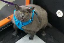 Παχύσαρκη γάτα αγκαλιάζει προπόνηση στο νέο viral video