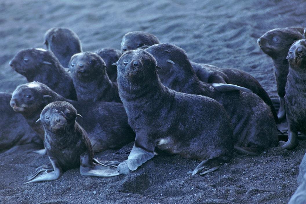 Fur seal moms, pups find refuge on steaming Alaska volcano