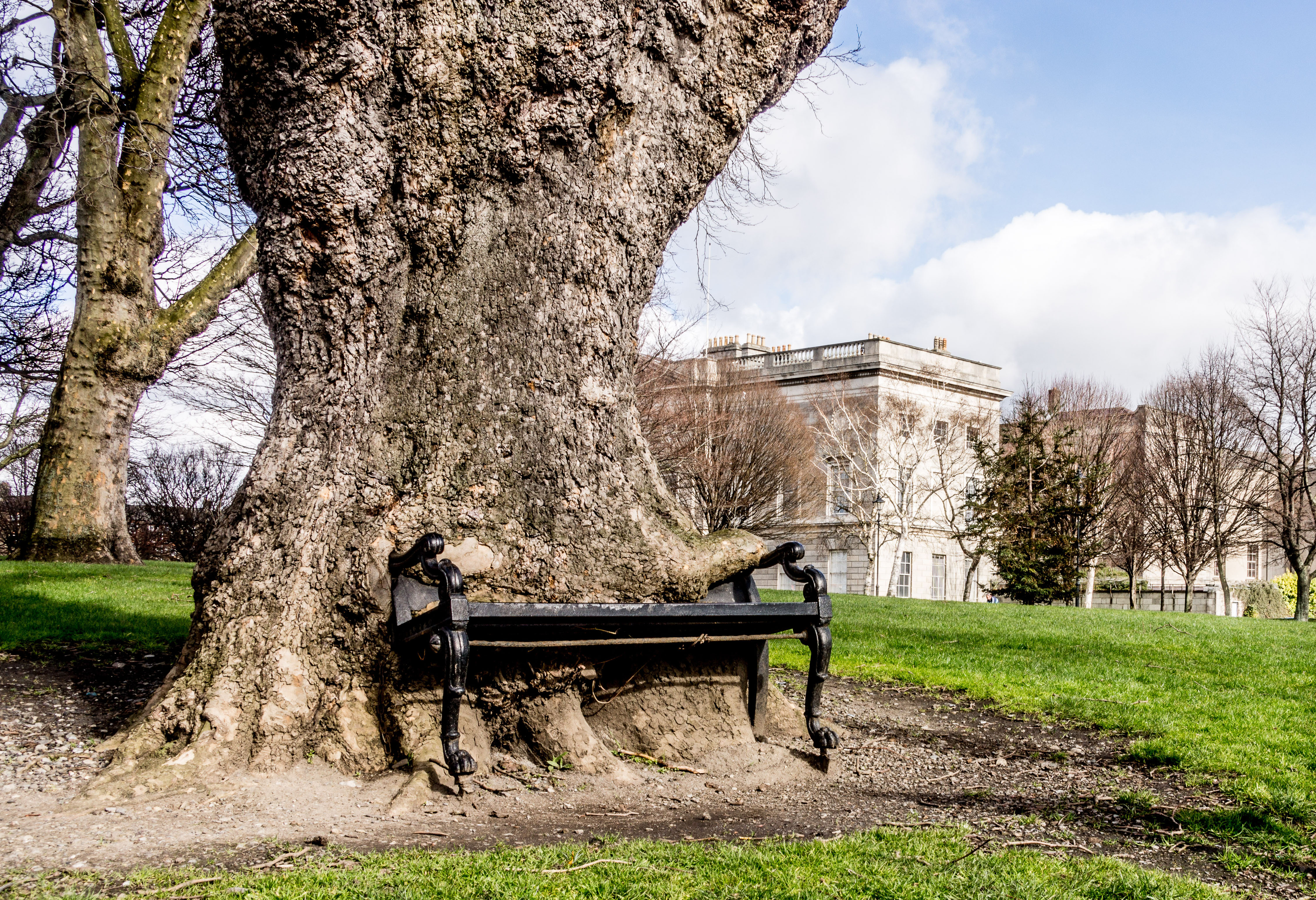 'Hungry tree' devouring cast-iron bench in Dublin