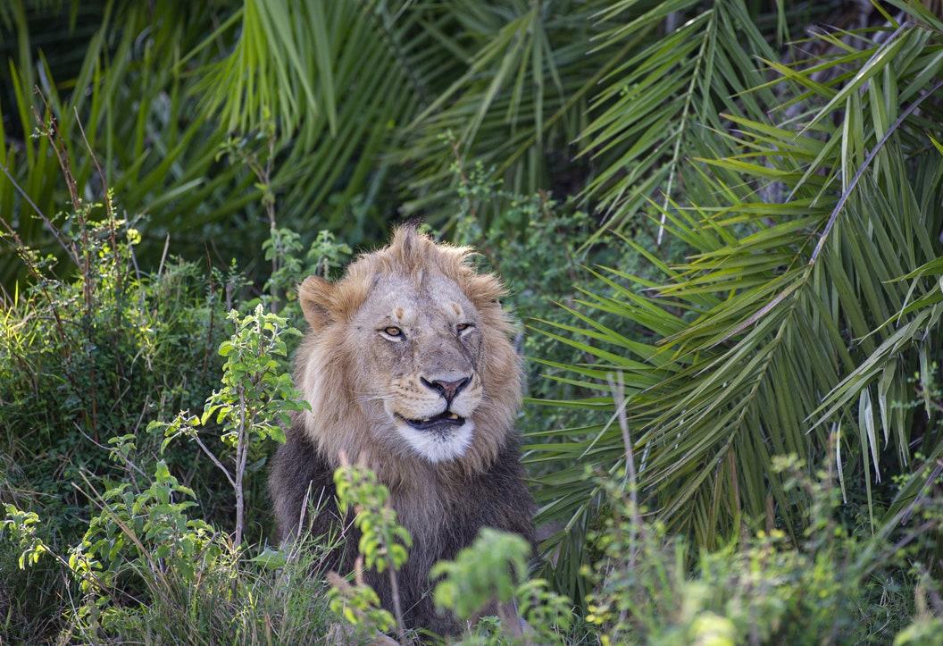 Enormous lion terrifies photographer with loud roar — then smiles at him