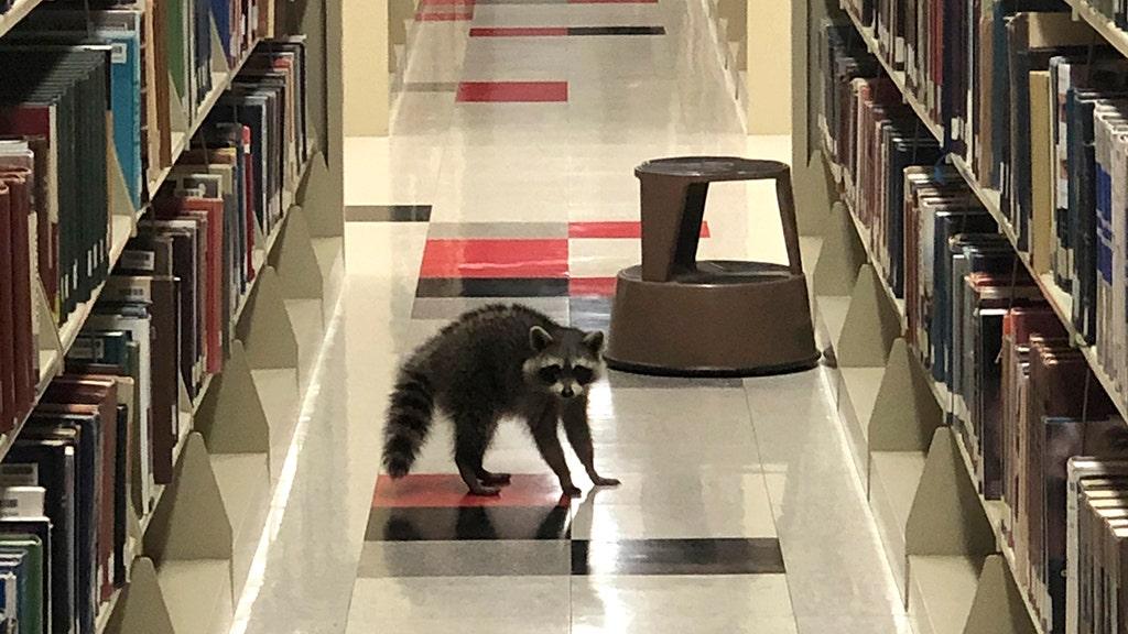 Raccoons take shelter in Arkansas State University library