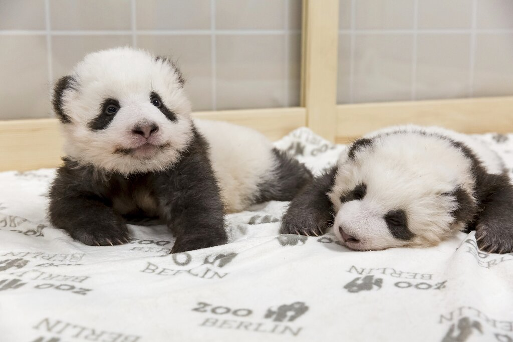 Berlin zoo releases adorable new pictures of panda twin cubs