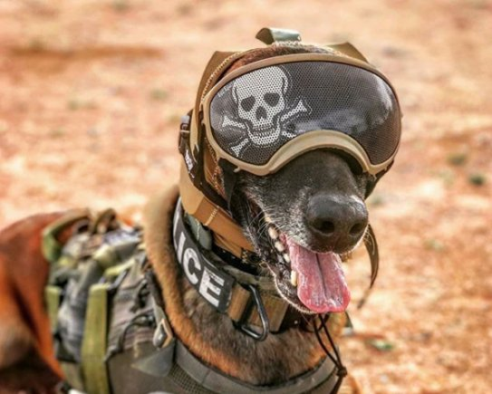 Military working dogs get innovative hearing protection