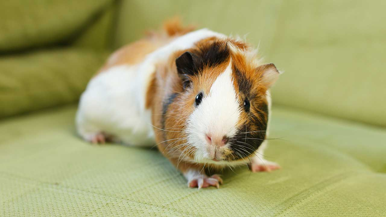 Pet store thief throws guinea pig out of fleeing car, but 'Lucky' suffered no injuries
