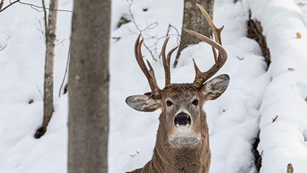 Hươu với ba con gạc bị bắt trên máy ảnh ở Michigan