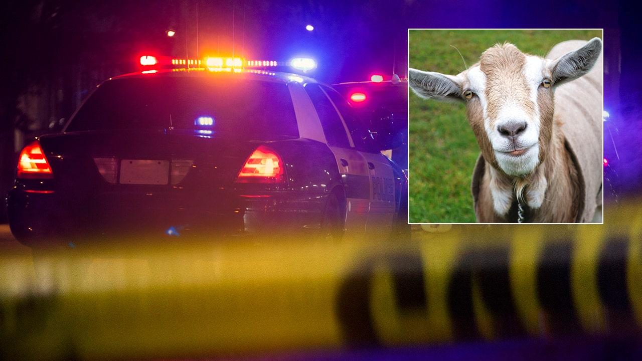 Alaska pria ditangkap setelah diduga penyelundupan $400G dalam obat — boneka membusuk di usus kambing — di bandara, para pejabat mengatakan
