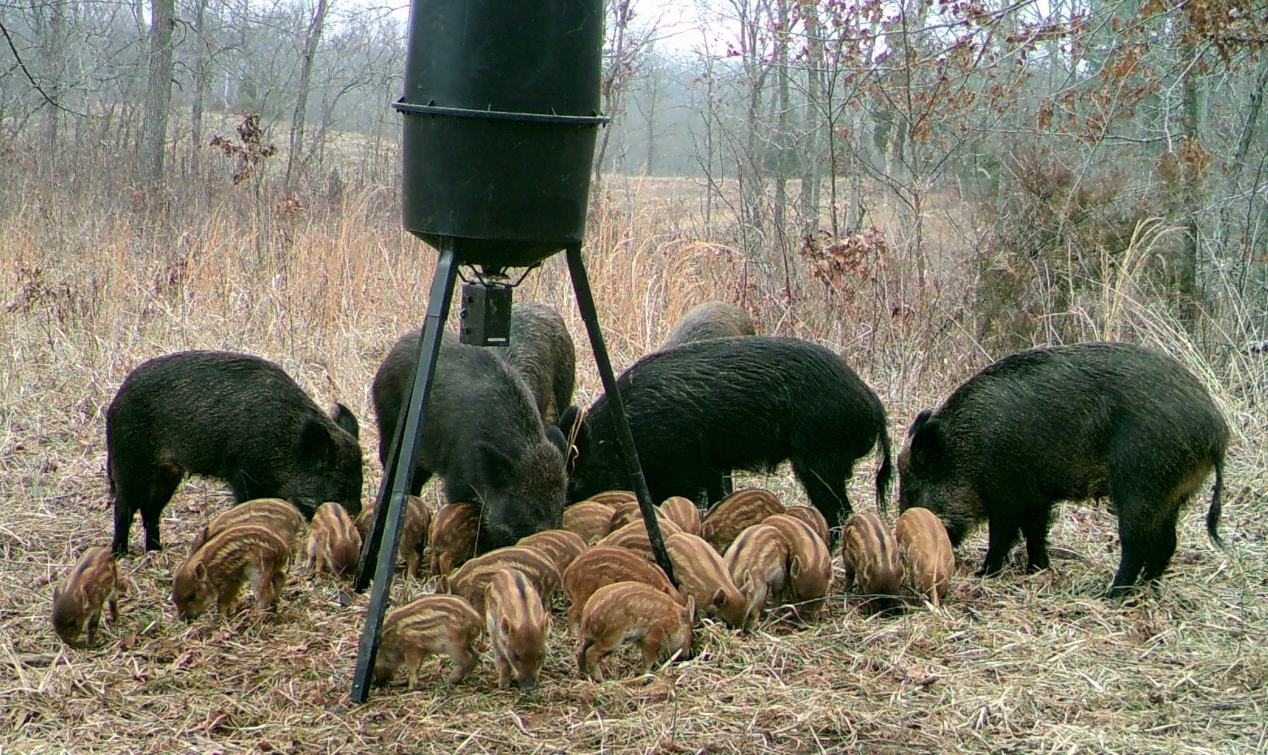 Westlake Legal Group hogs-on-bait Texas woman killed by feral hogs outside home in 'unbelievably tragic' incident fox-news/us/us-regions/southwest/texas fox-news/great-outdoors fox news fnc/us fnc article 2654f5bb-1e21-5f58-8bd9-50c383a00c4b