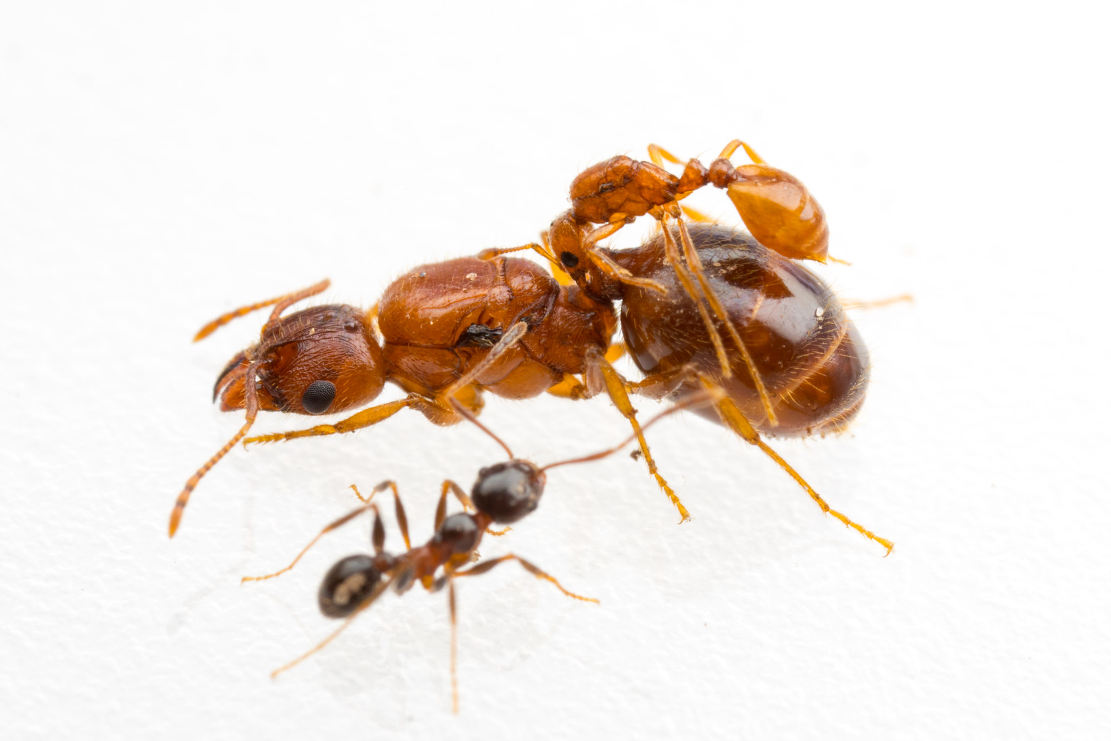 Dio ant'that hitch a ride on the largest ants found in Texas