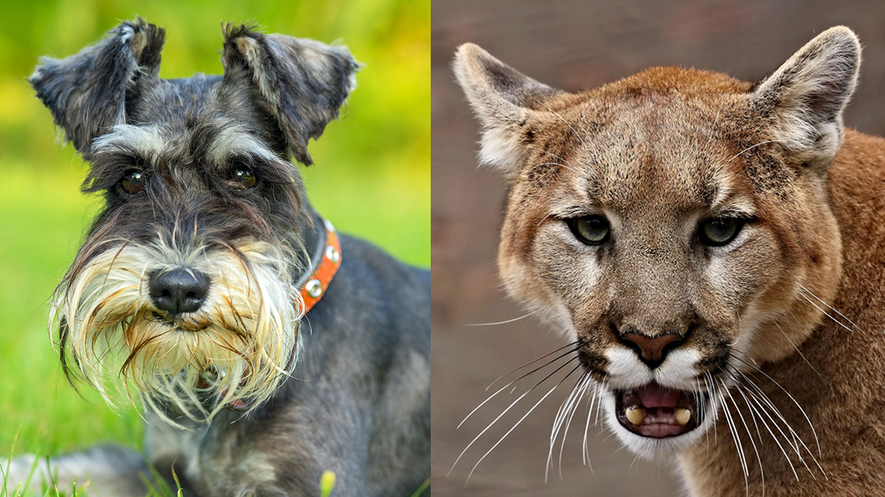 California woman punches mountain lion in attempt to save her dog