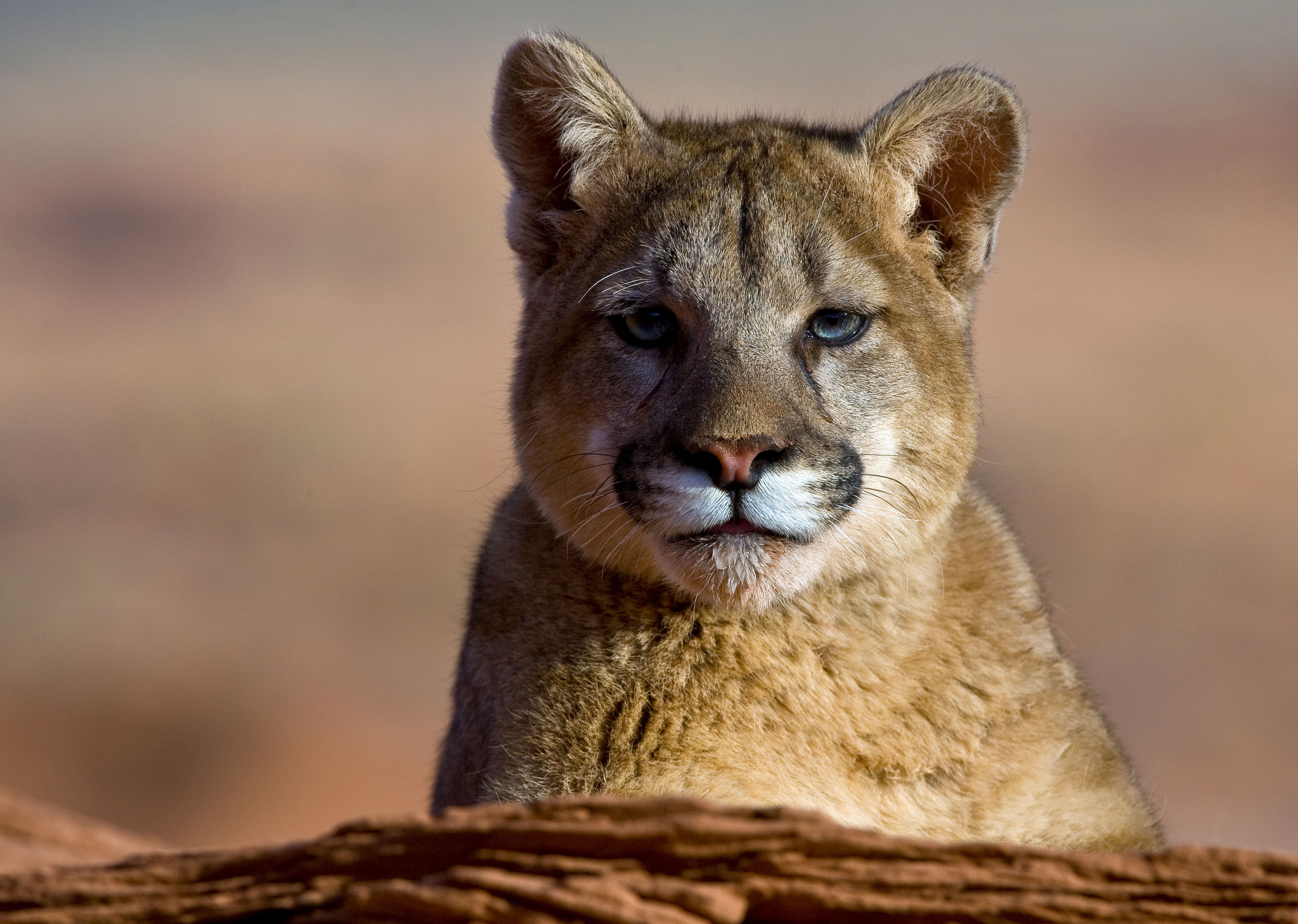 Toxic fog blamed for dangerously high mercury levels in mountain lions