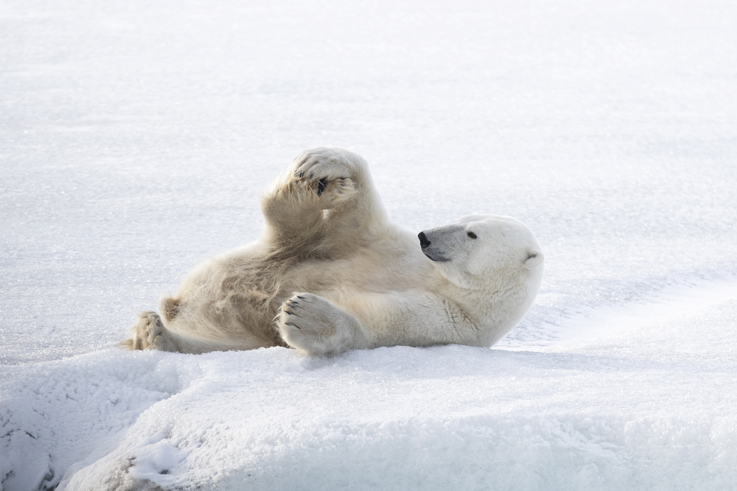 Polar bear spotted doing yoga poses in the Arctic