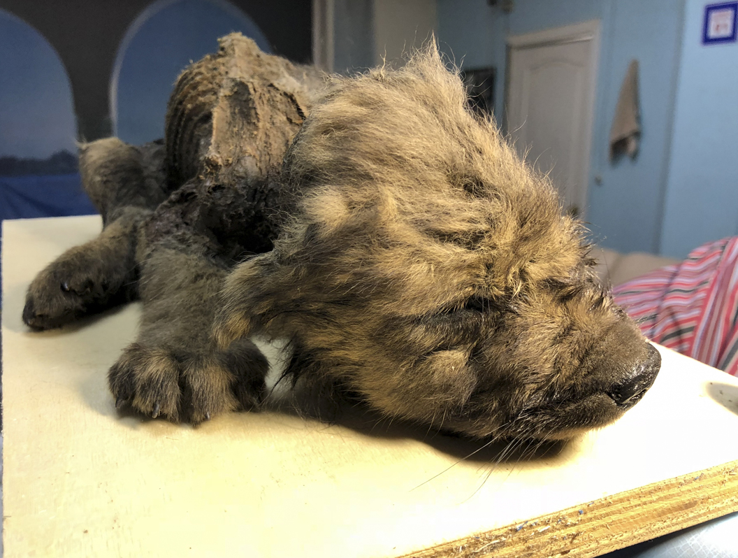 18,000 year-old puppy frozen in permafrost discovered