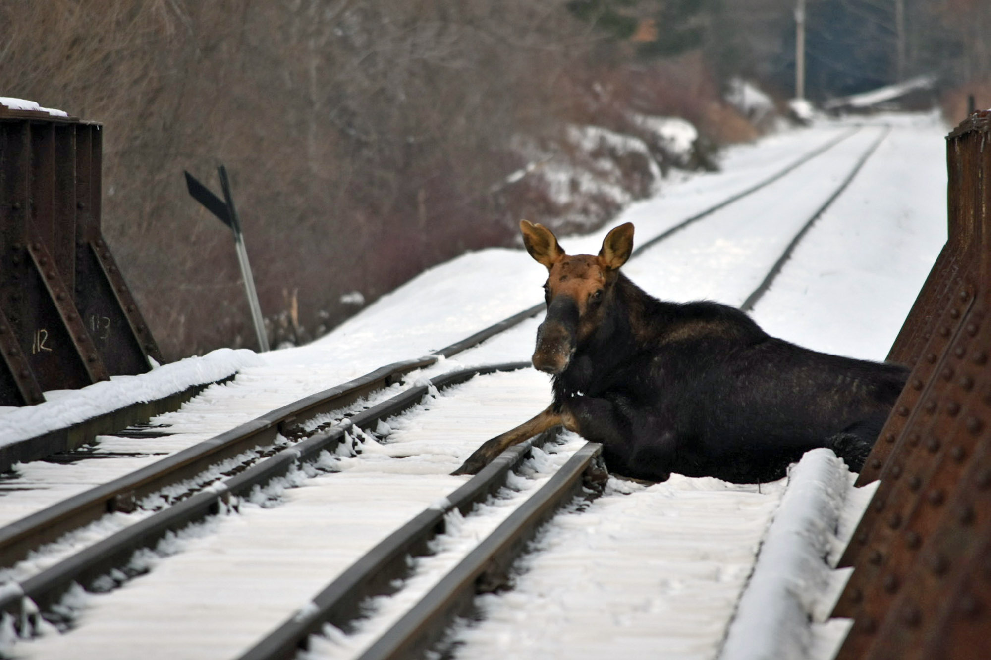Vermont moose rescued from active railroad tracks