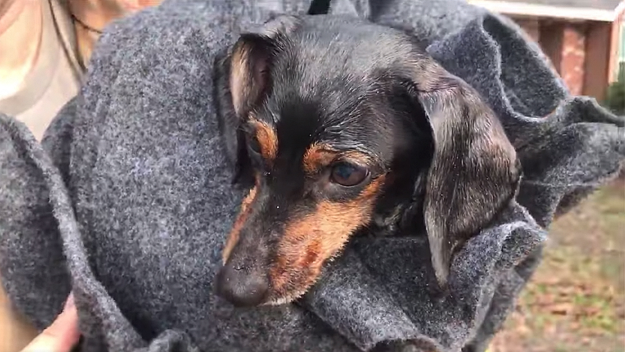 Firefighters save 'Beaker' the Dachshund from Louisiana house fire using K9 oxygen mask