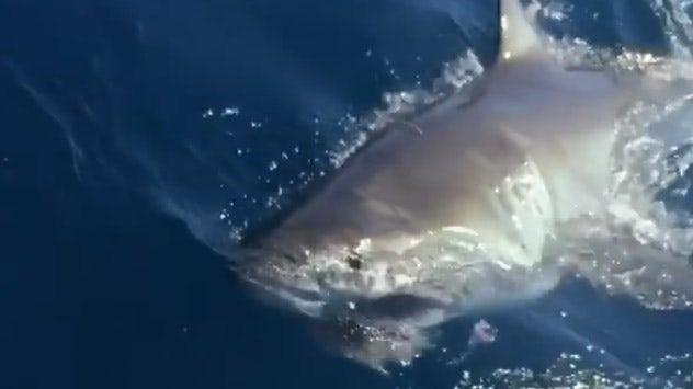 Fishermen hook 13-foot great white shark in Florida: 'Like seeing a unicorn'